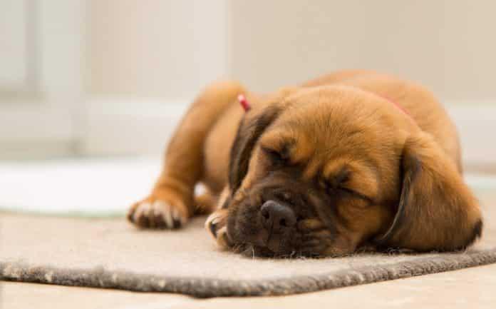 warum schlafen hunde so viel?