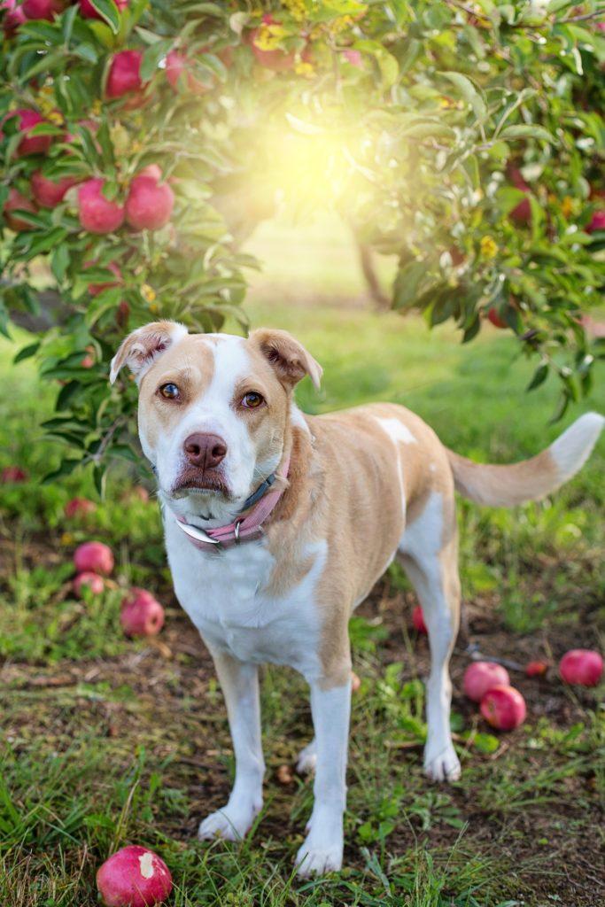 dürfen hunde äpfel fressen?