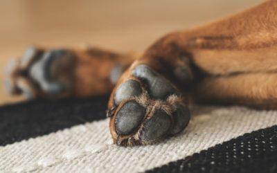 Warum lecken Hunde ihre Pfoten? 6 Ursachen erklärt