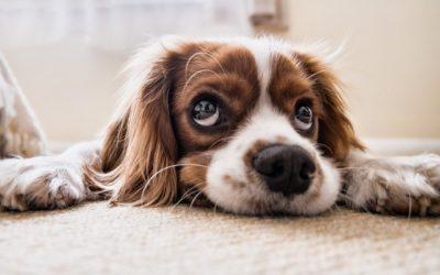 Das beste Alter für die Kastration Ihres Hundes