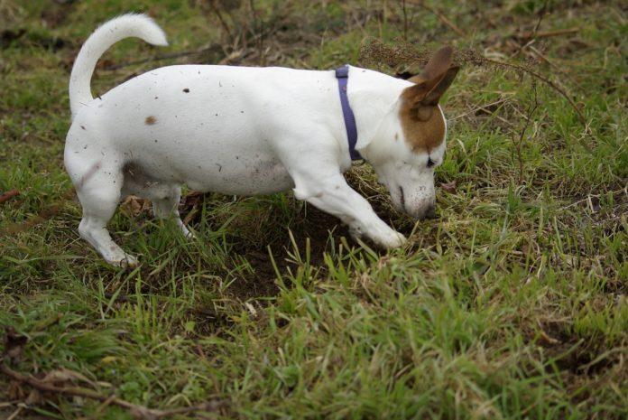 Hund frisst Erde