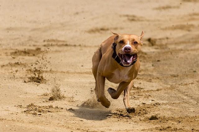 Hund läuft schief