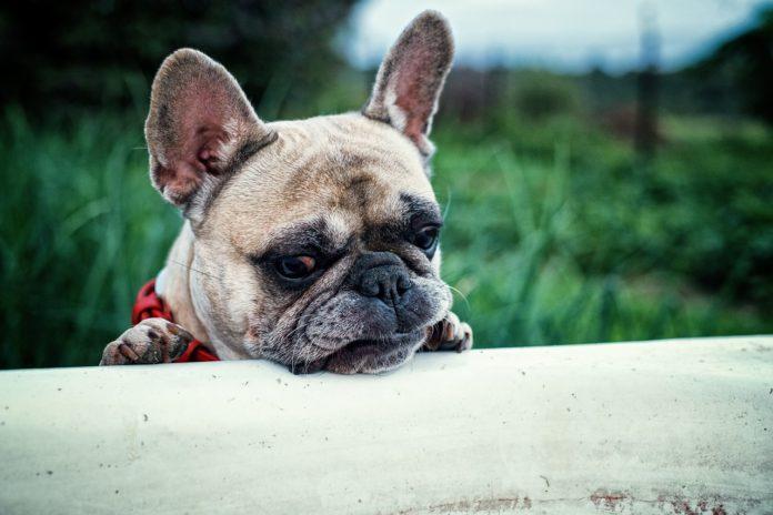 Französchische Bulldogge Rasse